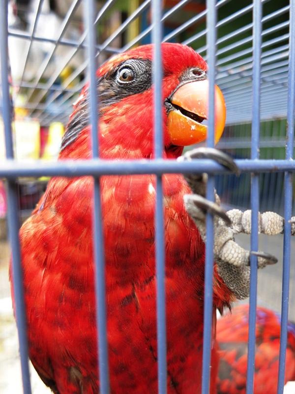 papagei yogyakarta