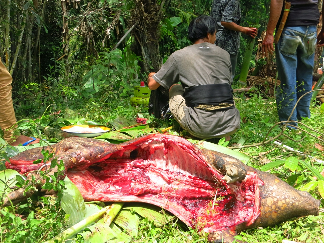 Toraja Büffel Beerdigung