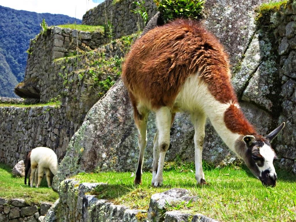 Peru_Machu_Picchu_Vicuna lama alpaka peru