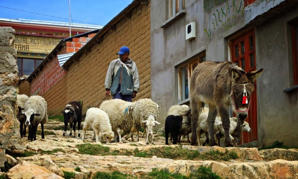 Bolivien Isla del Sol Schafsherde