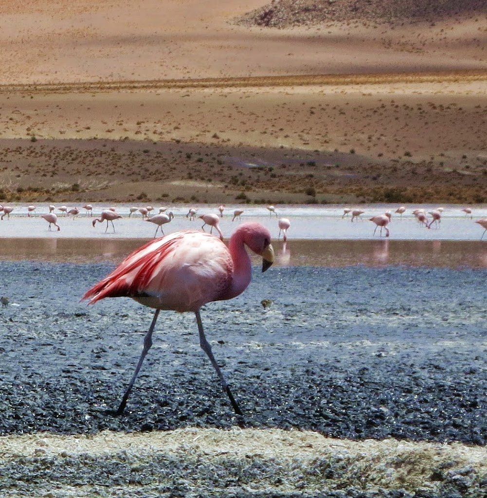 Flamingo_5