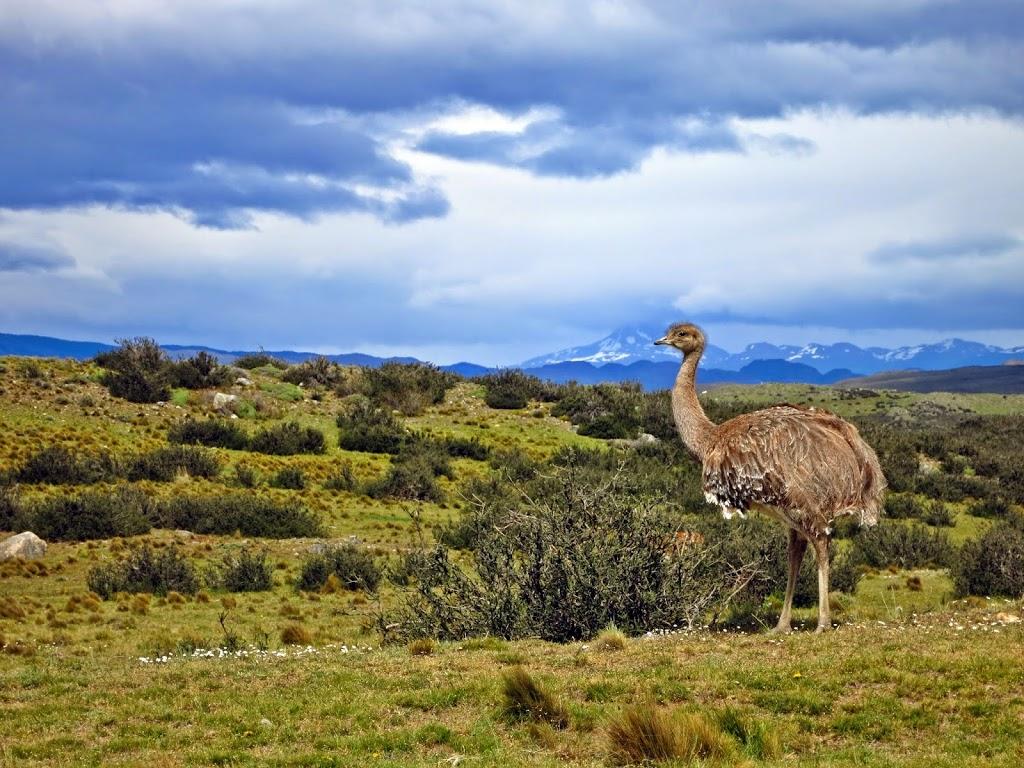 Nandu in patagonien