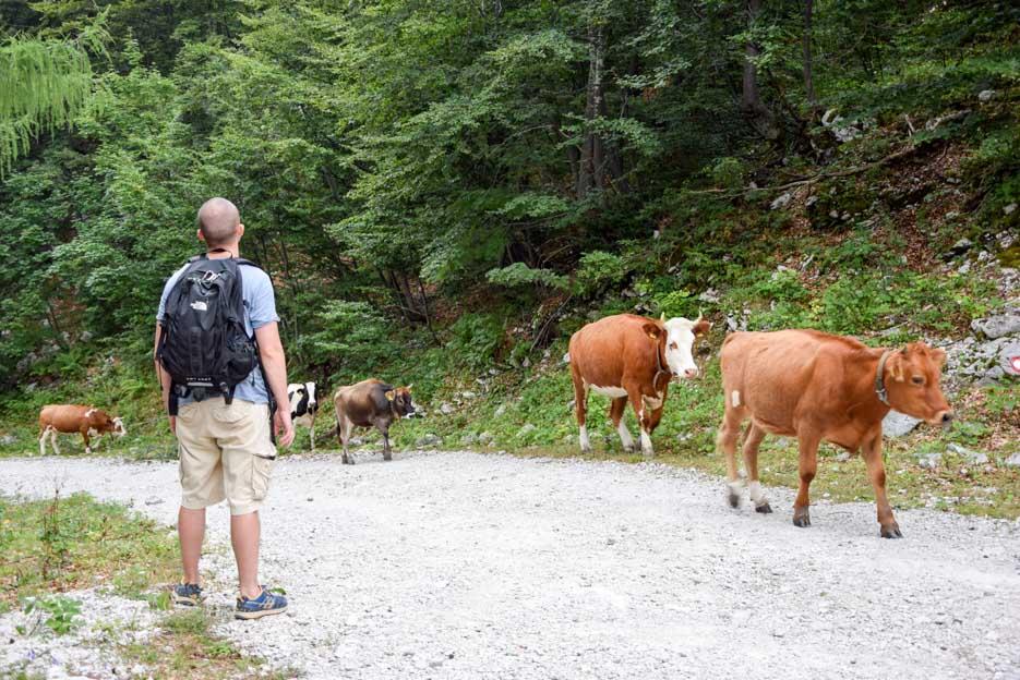 kuhherde slowenien triglav nationalpark