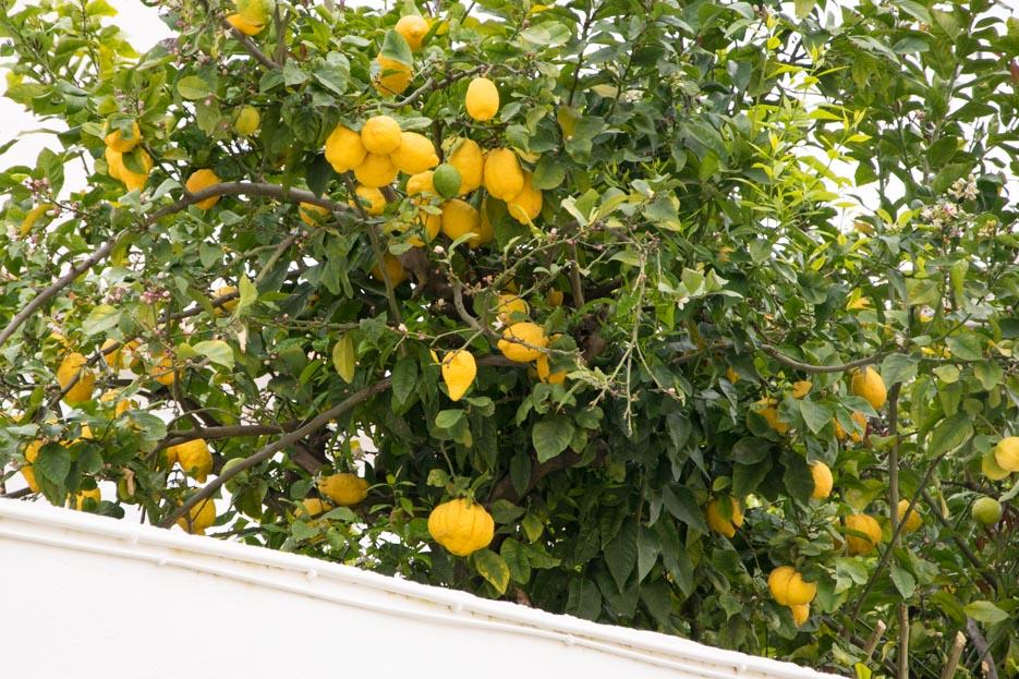Lissabon Zitronenbaum