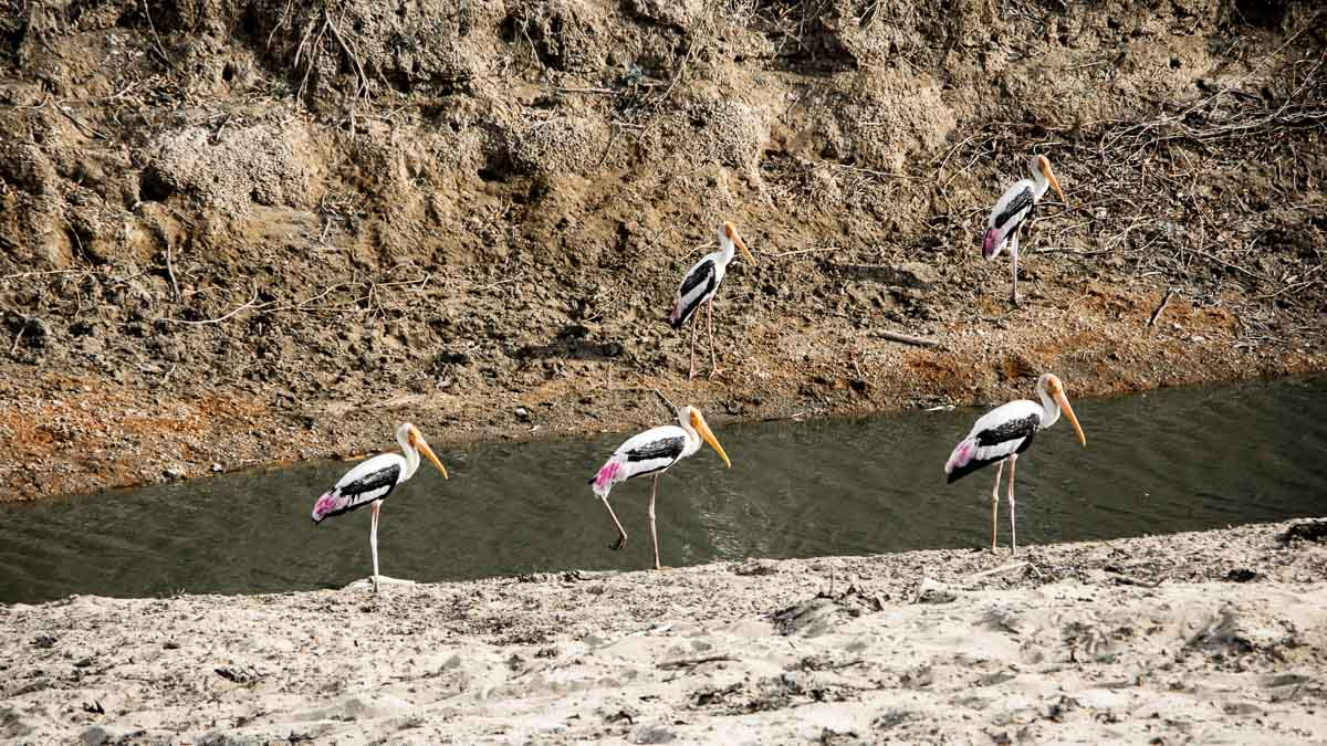 minneriya nationalpark flamingos