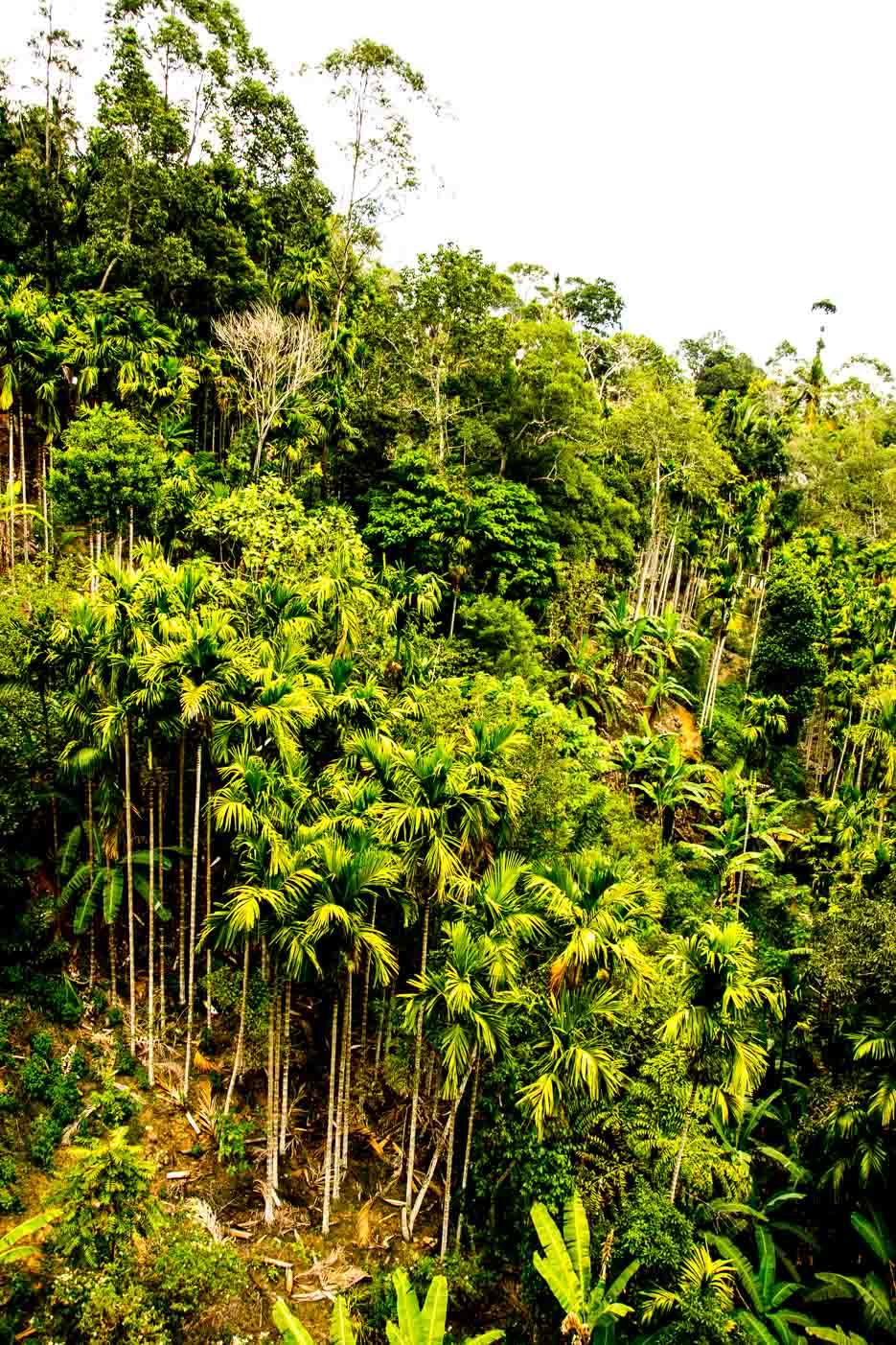 sri-lanka-palmen-natur