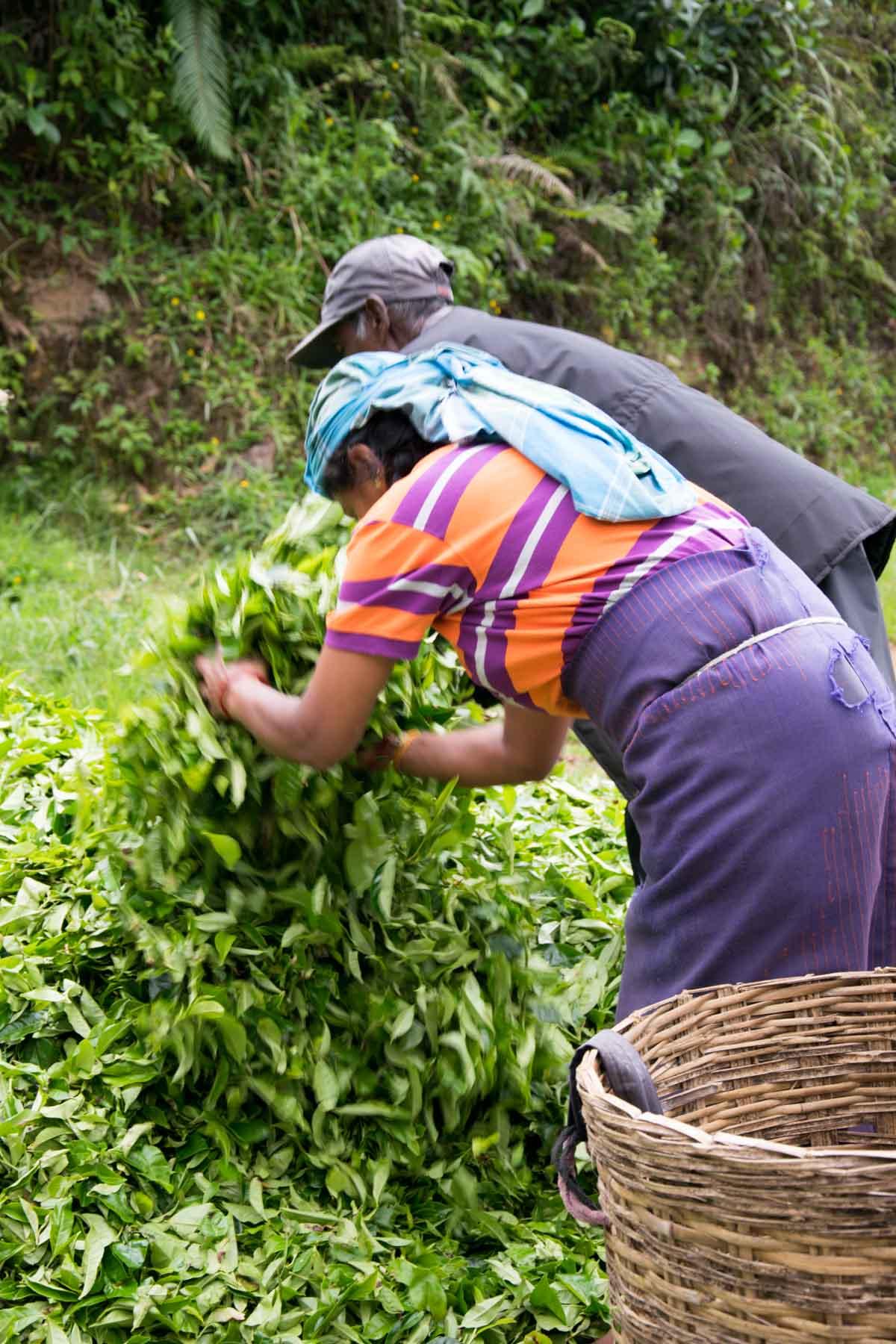 sri-lankas-teeplantagen-pflückerinnen-hochland-ella