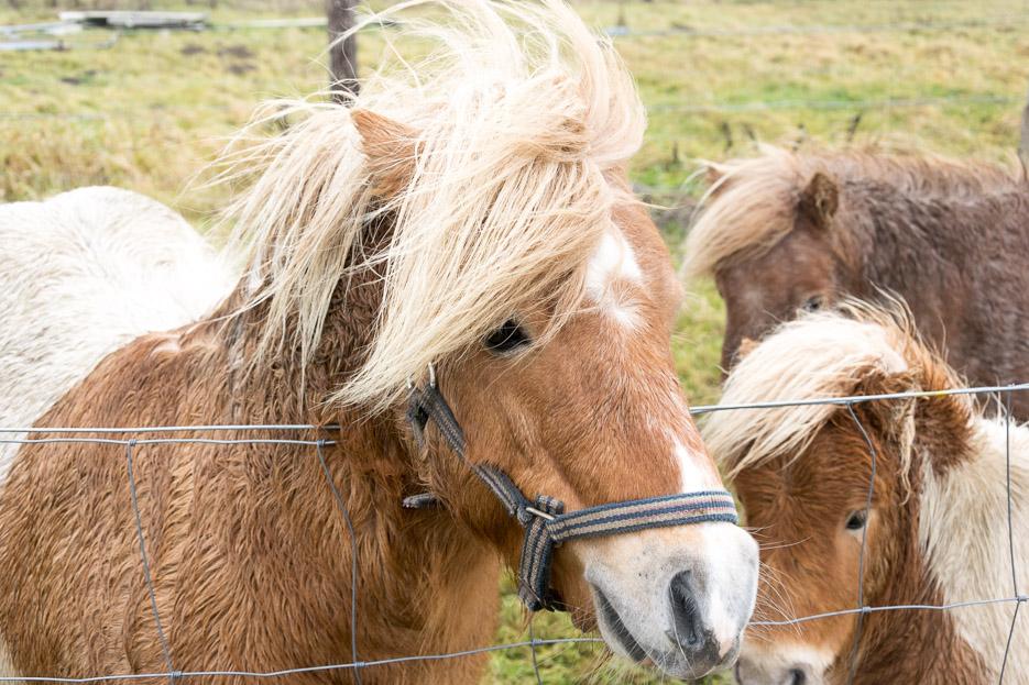 pferde wandern nordsee buesum
