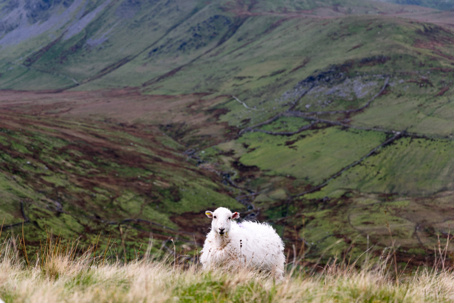 Sheep Wales Snowdonia