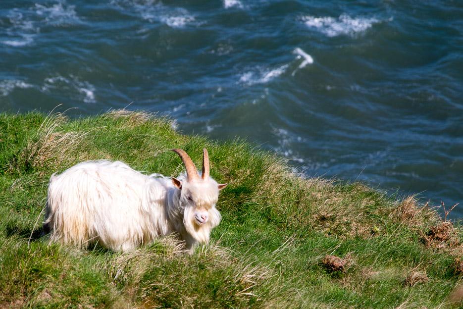 Kaschmirziege Wales Llandudno Great Orme Wildlife Ziege