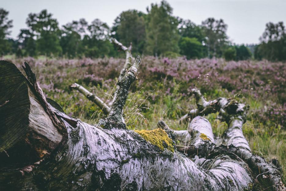 lüneburger heide natur blütezeit urlaub reise wandern