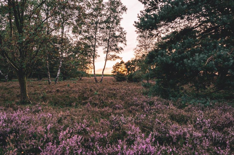 Lüneburger Heide Sonnenuntergang Heideblüte