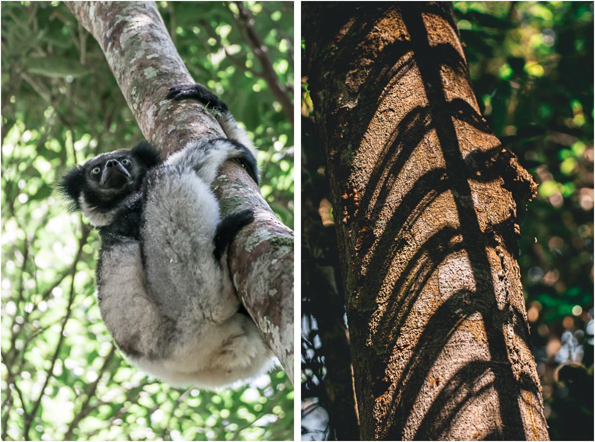 indri indri lemuren madagaskar andasibe