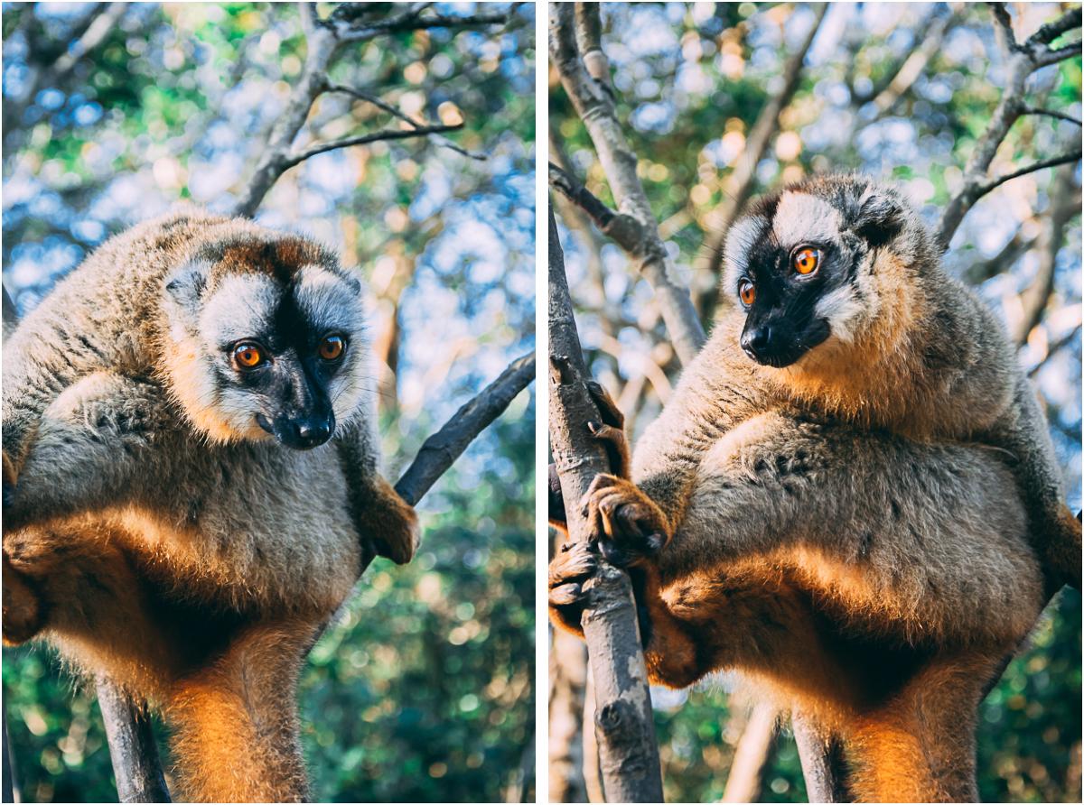 brauner lemur maki madagaskar andasibe nationalpark vakona forest