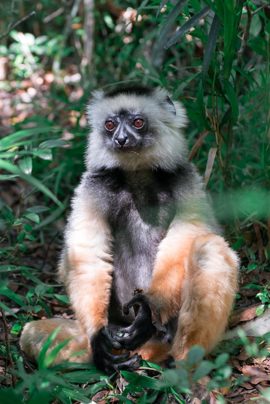 diademsifaka sifaka lemuren indri madagaskar