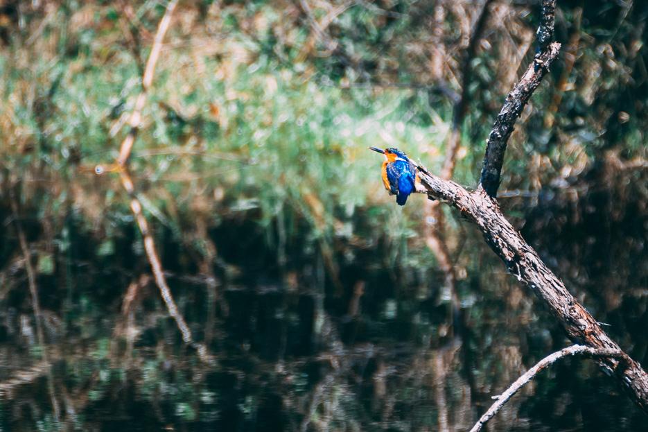 kingfisher eisvogel madagaskar andasibe