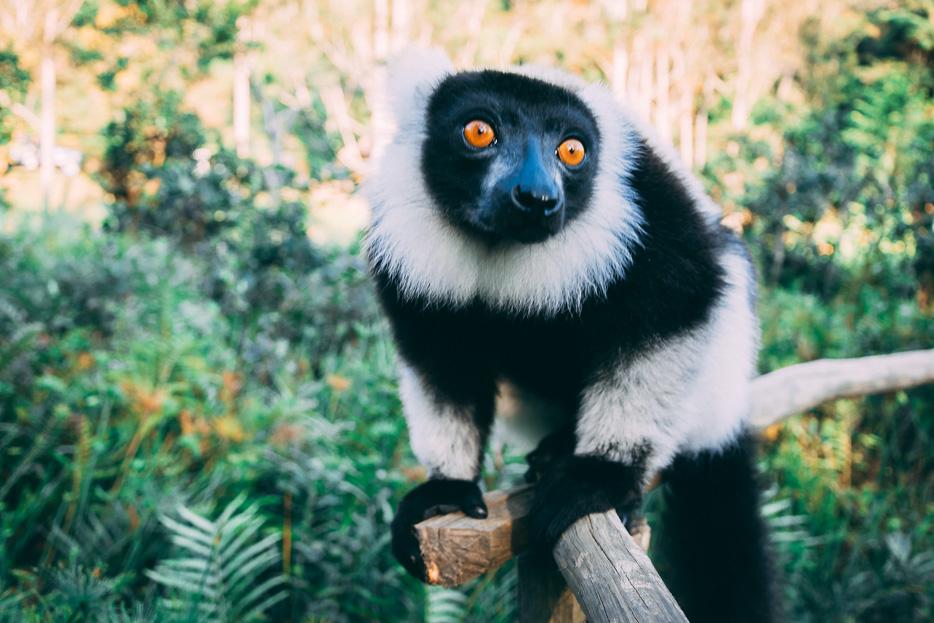 lemur schwarzweiß vari black and white ruffed lemur madagaskar