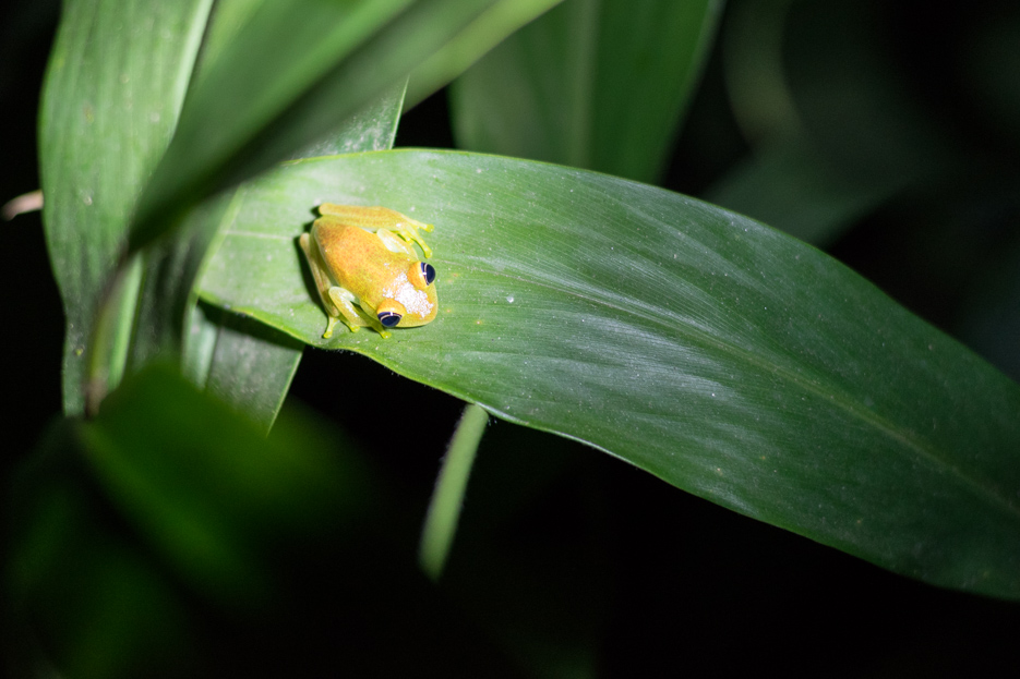 Madagaskar Frosch Andasibe Nationalpark nachtwanderung