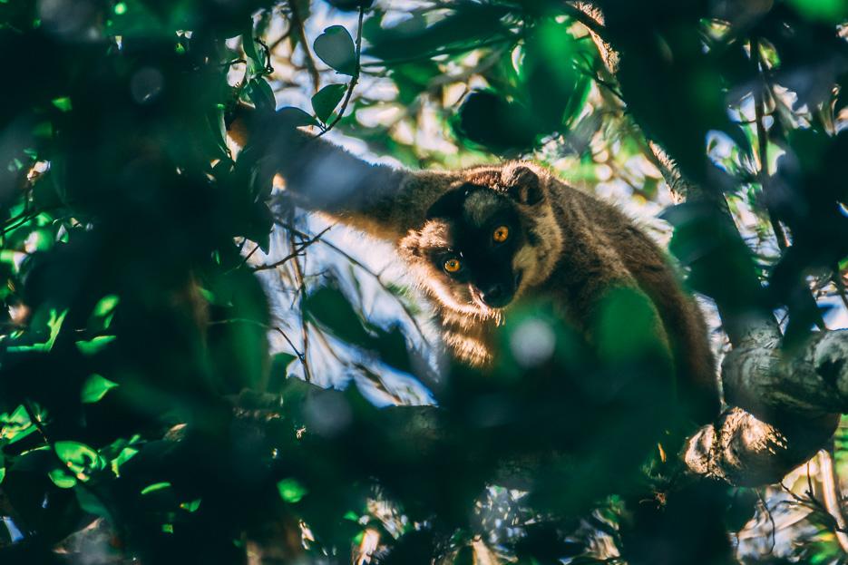 brauner lemur andasibe nationalpark madagaskar