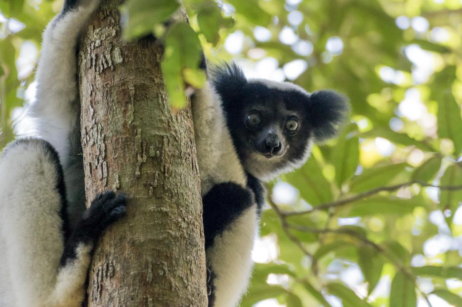 Indri Indri Andasibe Madagaskar Lemuren safari