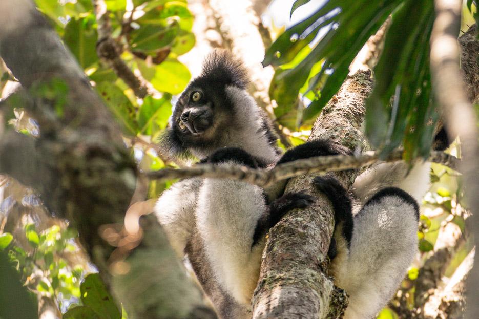 Indri Indri Lemuren Madagaskar Andasibe Nationalpark