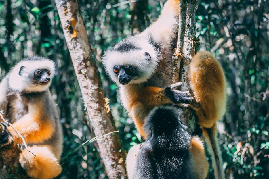 Sifaka Diademsifaka Andasibe Nationalpark madagaskar
