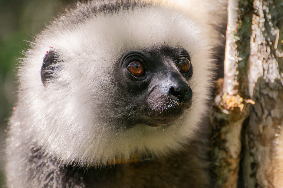 sifaka andasibe madagaskar lemuren