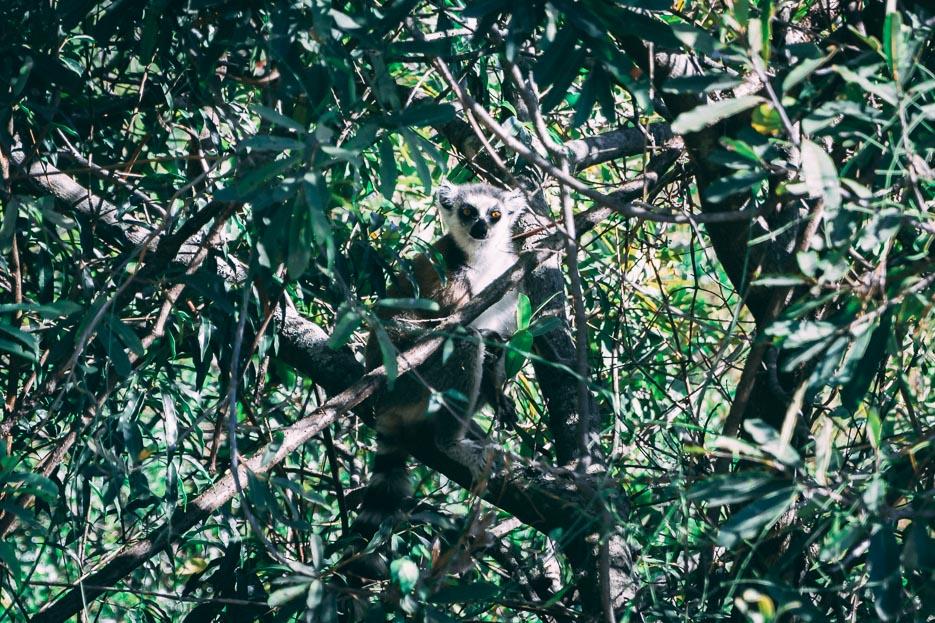 Lemuren Madagaskar Tsaranoro Valley