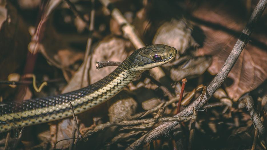 Schlange madagaskar giftig