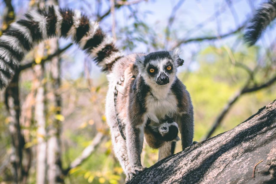 lemuren madagaskar kattas anja reservat