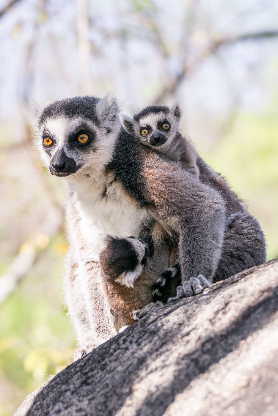 lemuren babys kattas madagaskar anja reservat erfahrungsbericht reisebericht