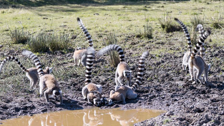 lemuren madagaskar kattas wasserloch anja reservat erfahrungsbericht
