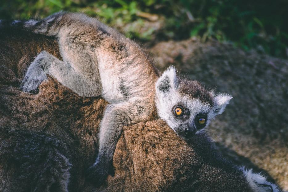 lemuren baby kattas madagaskar erfahrungsbericht reisetipps anja ambalavao