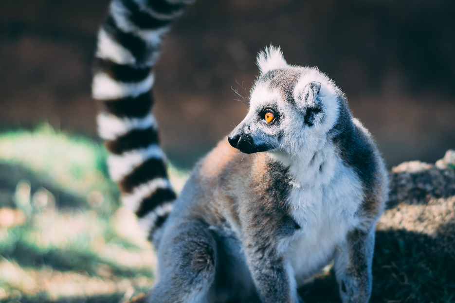 katta lemuren madagaskar tierfotografie reisebericht