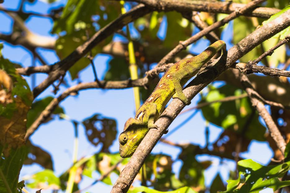 chamäleon madagaskar grün anja reservat