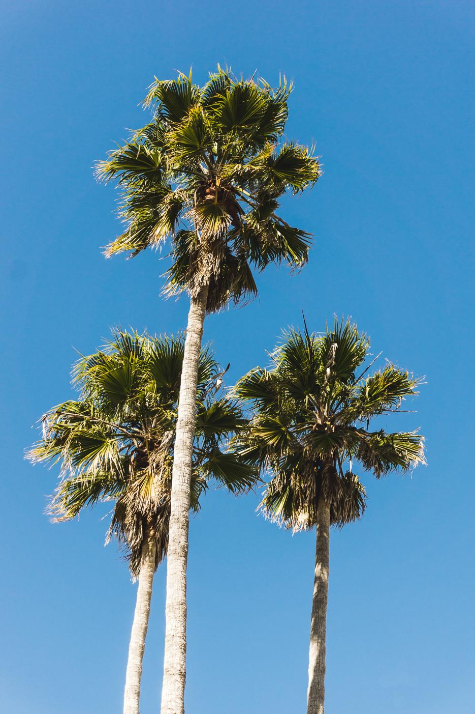 Santa Cruz Palm trees