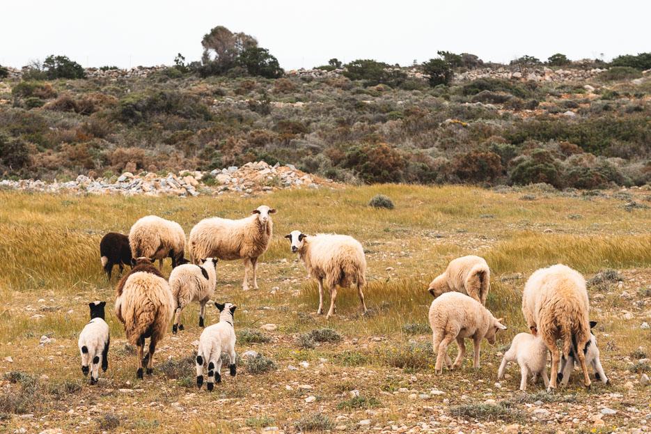 griechenland kykladen iraklia wandern schafe tiere