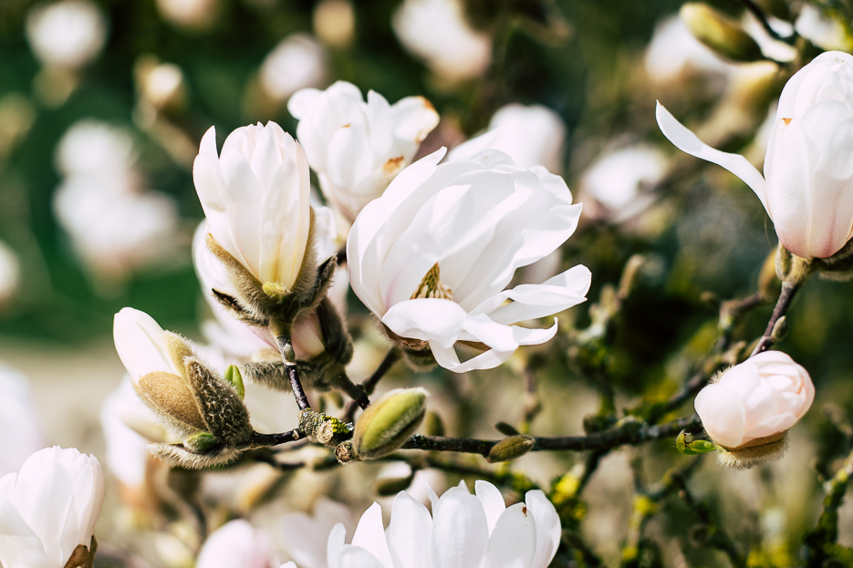 botanischer garten magnolie