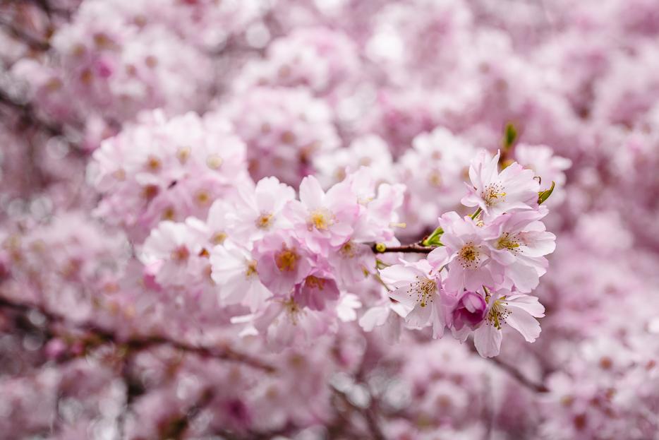 kirschblüte rosa deutschland