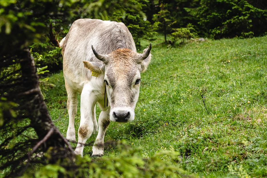 montafon kühe österreich