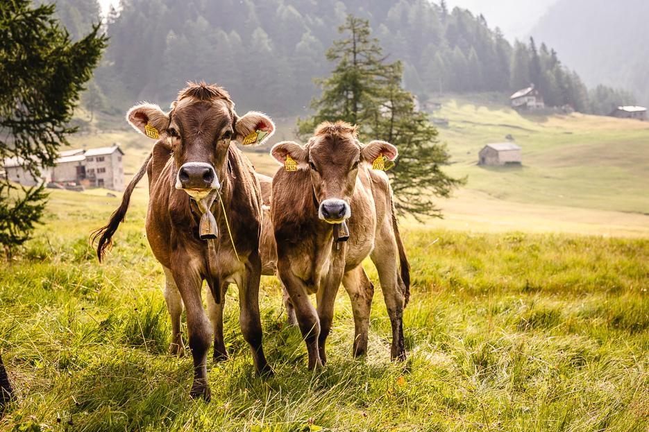 kühe schweiz val da camp puschlav valposchiavo