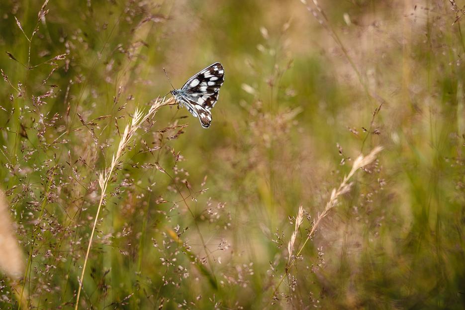 Lugano Monte Generoso Schmetterling weiß schwarz